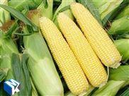 鲜食玉米加工设备现货