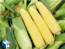 鮮食玉米加工設備現貨