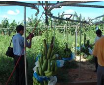 香蕉采收处理设备