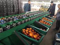 不知火選果機 柑橘沃柑分選機 機械分選