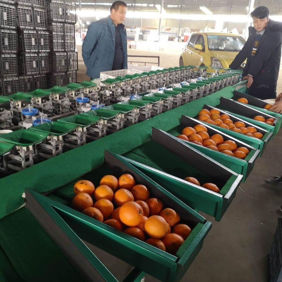 不知火分选机厂家直销 电商专用柑橘选果机