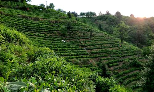 春茶或遇生产难题?机械化水平提升为茶业加足马力